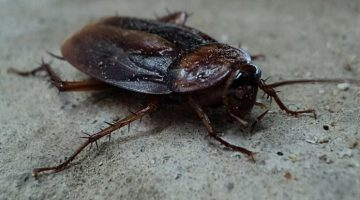 Scientists think Cockroach Milk could be the Super food of the Future