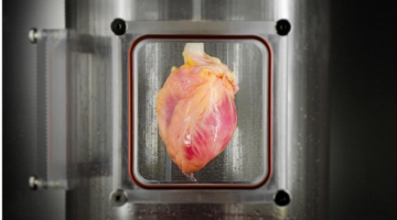 Scientists Grow Full-Sized, Beating Human Hearts From Stem Cells